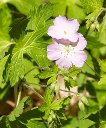 Wild geranium (photo by Webmaster)
