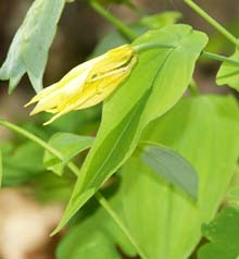 Large-flowered bellwort (photo by Webmaster)