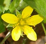 Barren strawberry (photo by Webmaster)