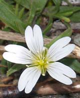 Field chickweed (photo by Webmaster)