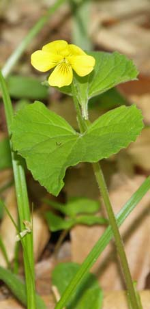 Downy yellow violet (photo by Webmaster)