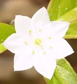 Starflower (photo by Webmaster)