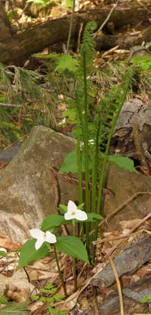 Large-flowered trillium with ferns (photo by Webmaster)
