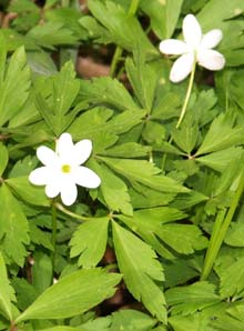 Wood anemone (photo by Webmaster)