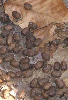 Deer scat (photo by Webmaster)