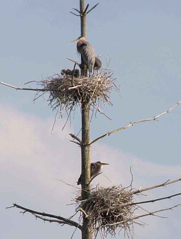 Chicks and adult great blue herons at their nests at Wachusett Meadow Wildlife Sanctuary (photo by Webmaster)