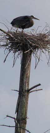 Great blue heron standing in its nest (photo by Webmaster)