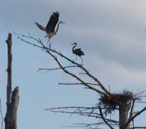 Great blue herons out on a limb (photo by Webmaster)