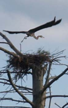 Great blue heron returning to its nest after a flight (photo by Webmaster)
