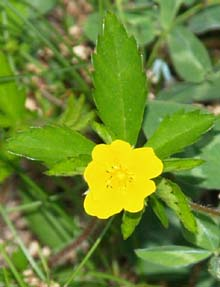 Common cinquefoil (photo by Webmaster)