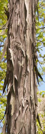 Shagbark hickory trunk (photo by Webmaster)