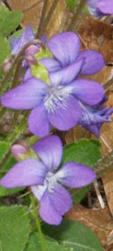 Violets (photo by Webmaster)