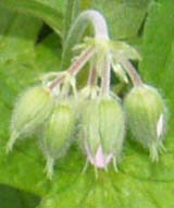 Wild geranium buds (photo by Webmaster)