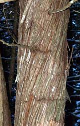 Cedar trunk (photo by Webmaster)