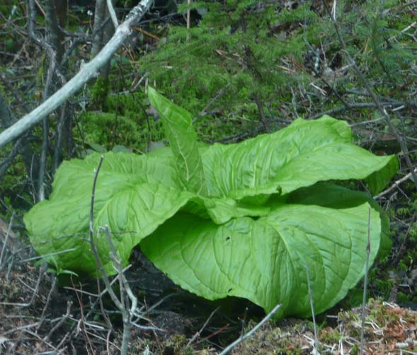 Skunk cabbage along Wonderland Trail (photo by Chip Lary)