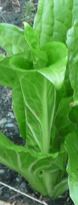 Unfurling skunk cabbage leaves (photo by Chip Lary)