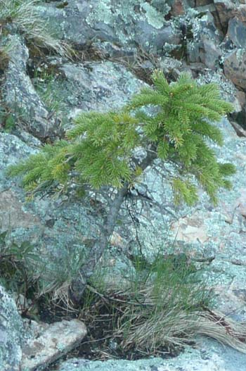 A small spruce growing on the ledges at Wonderland (photo by Chip Lary)