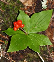 Bunchberry in fruit (photo by Webmaster)