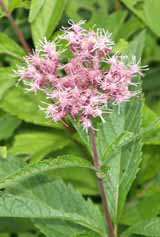 Joe-Pye weed along beaver swamp on Zealand Trail (photo by Webmaster)