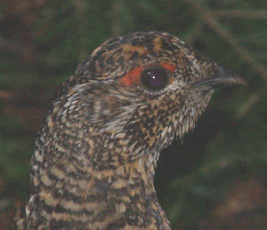 Male spruce grouse on Lend-A-Hand Trail (photo by Webmaster)