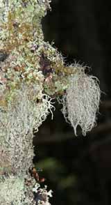Lichen-covered tree on Lend-A-Hand Trail (photo by Webmaster)
