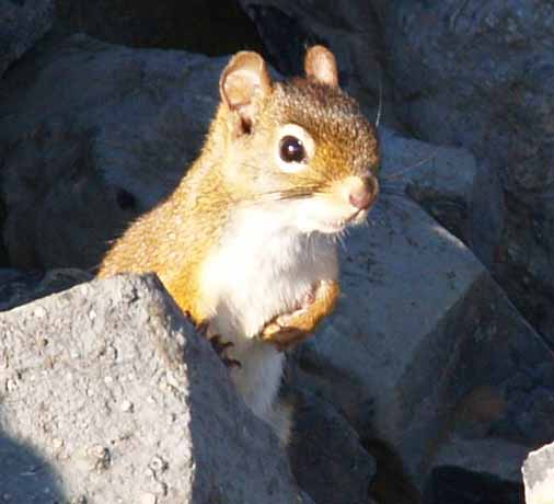 Red squirrel on Mt. Hale summit cairn (photo by Webmaster)