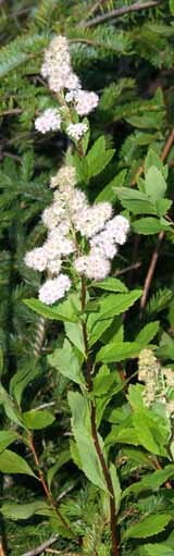 Meadowsweet on Mt. Hale summit (photo by Webmaster)
