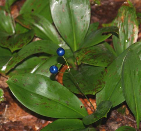 Bluebead lily on East Pond hike (photo by Webmaster)