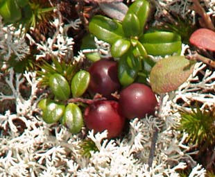 Mountain cranberry and reindeer lichen on summit slabs (photo by Webmaster)